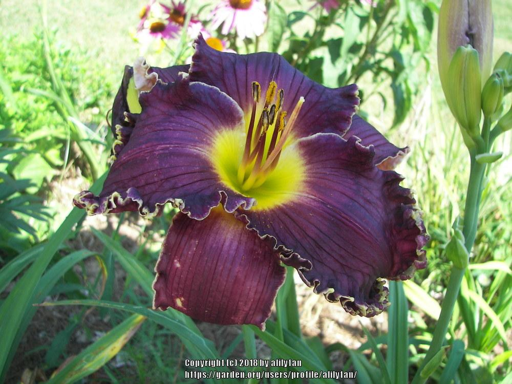 Photo of Daylily (Hemerocallis 'Born to Reign') uploaded by alilyfan