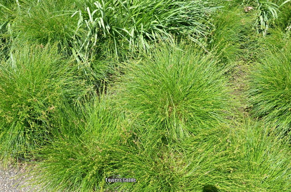 Photo of Sedge (Carex divulsa) uploaded by mchung