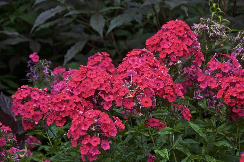 Phloxes Plant Care And Collection Of Varieties Garden