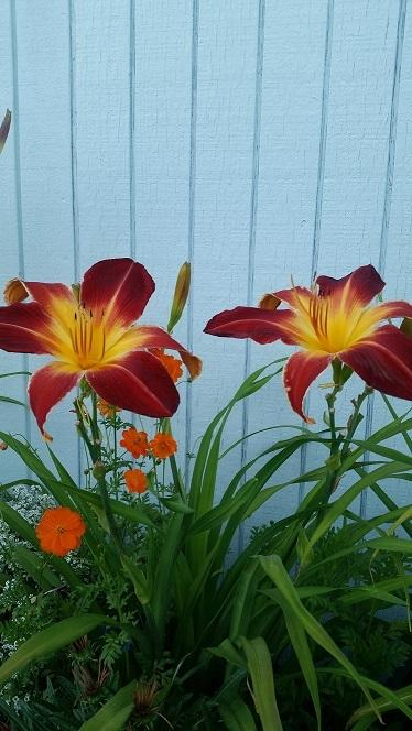 Photo of Daylily (Hemerocallis 'Ruby Spider') uploaded by flowerpower35