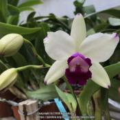 Photo of Orchid (Rhyncattleanthe Shinfong Little Boy)