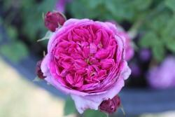 Thumb of 2018-08-17/Canadian_Rose/9ce5b8