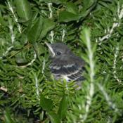 Location: Las VegasDate: 2010-06-30Mockingbird Chick in Rosemary