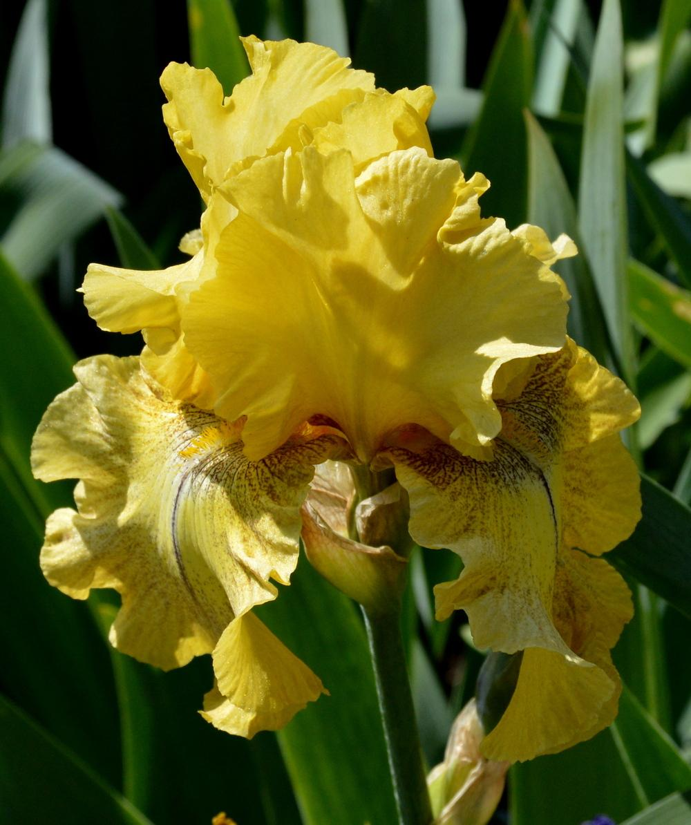 Photo of Tall Bearded Iris (Iris 'Desert Echo') uploaded by Tambookie