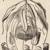 Date: c. 1888illustration from the 1888 'Gardener's Monthly and Horticulturali