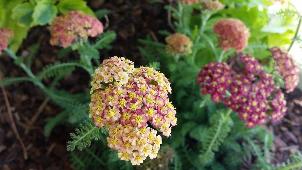 Photo of Yarrow (Achillea Desert Eve™ Red) uploaded by RobGlen