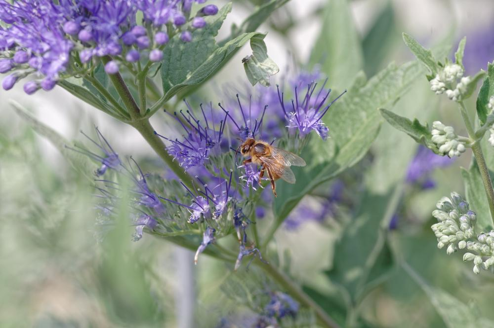 Photo of Bluebeard (Caryopteris x clandonensis) uploaded by evermorelawnless