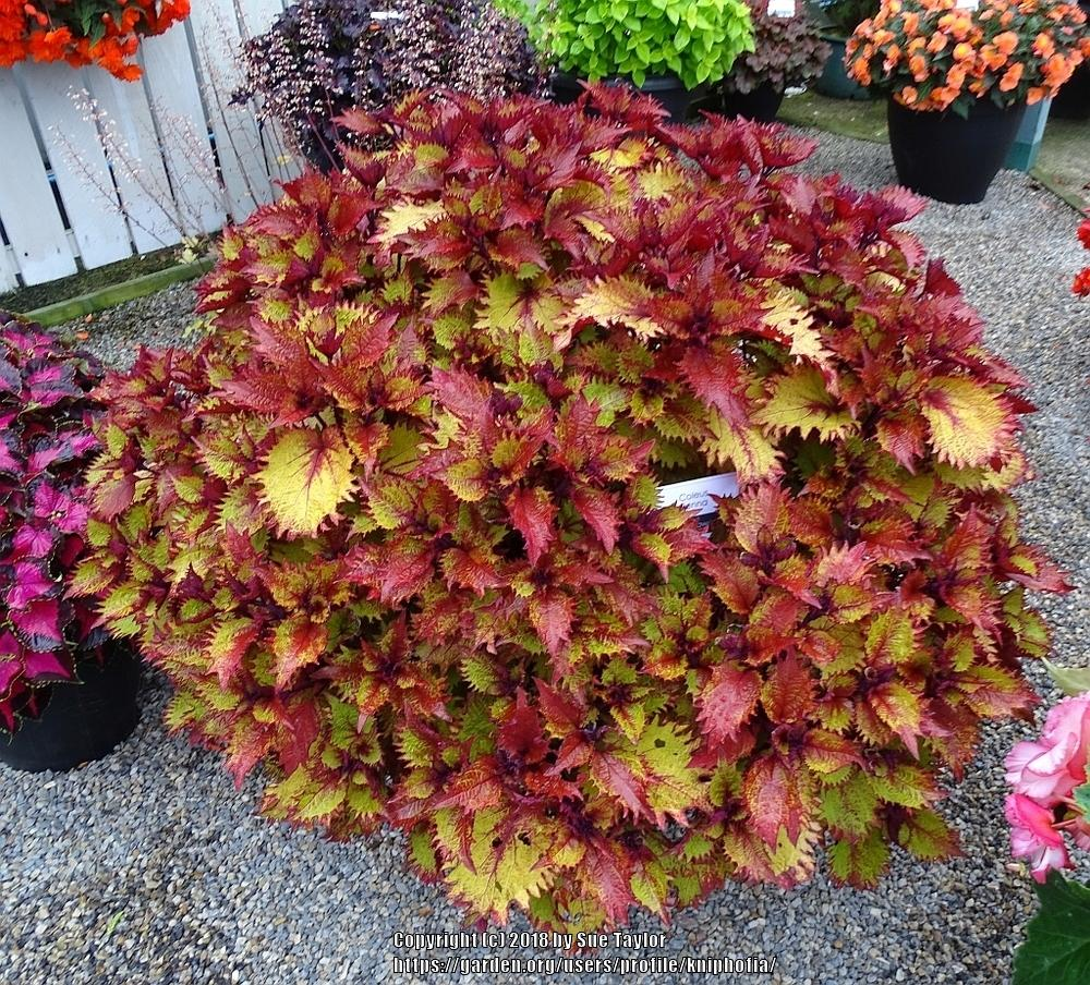 Coleus: Plant Care and Collection of Varieties - Garden.org