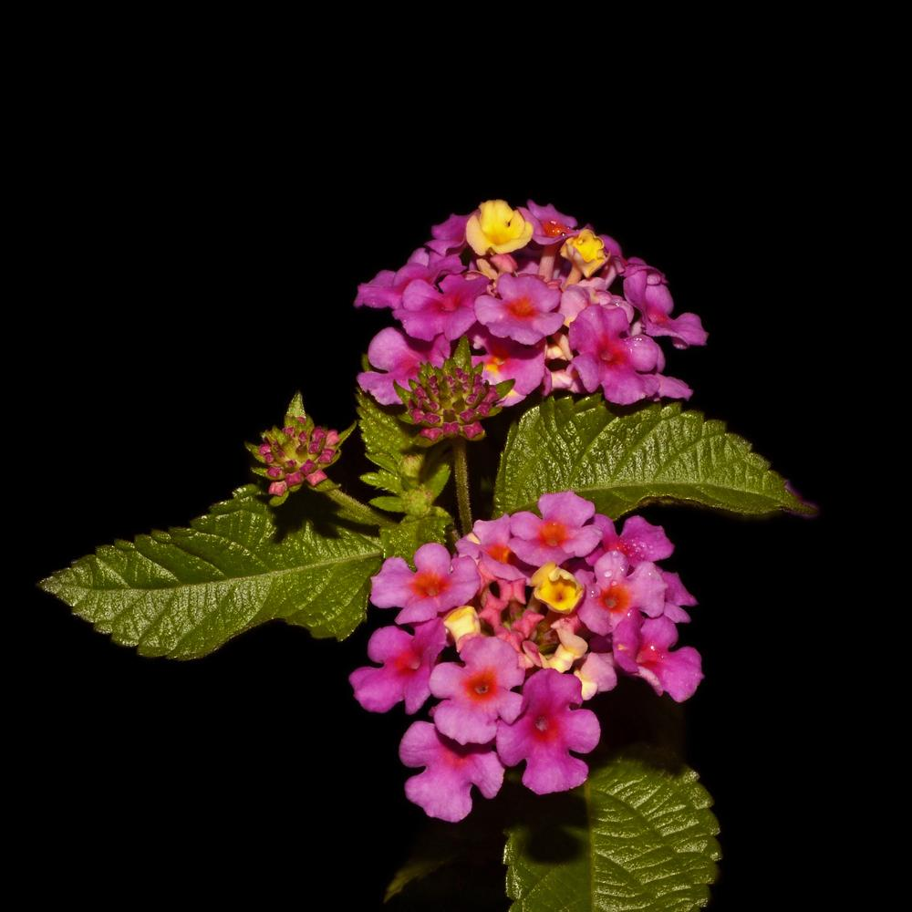 Photo of Lantana uploaded by dawiz1753