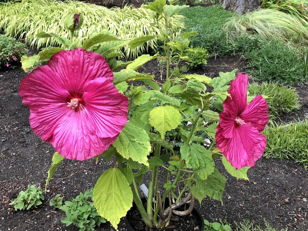 Photo Of The Entire Plant Of Hardy Hibiscus Hibiscus Moscheutos