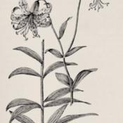 Date: c. 1897illustration from 'Flowers of Field, Hill and Swamp' by Creevey,
