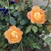 Location: San FranciscoRose( Rosa 'Lady of Shalott')