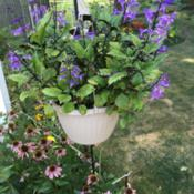 Location: Mentor on the LakeDate: 2018-08-28Grows in hanging basket