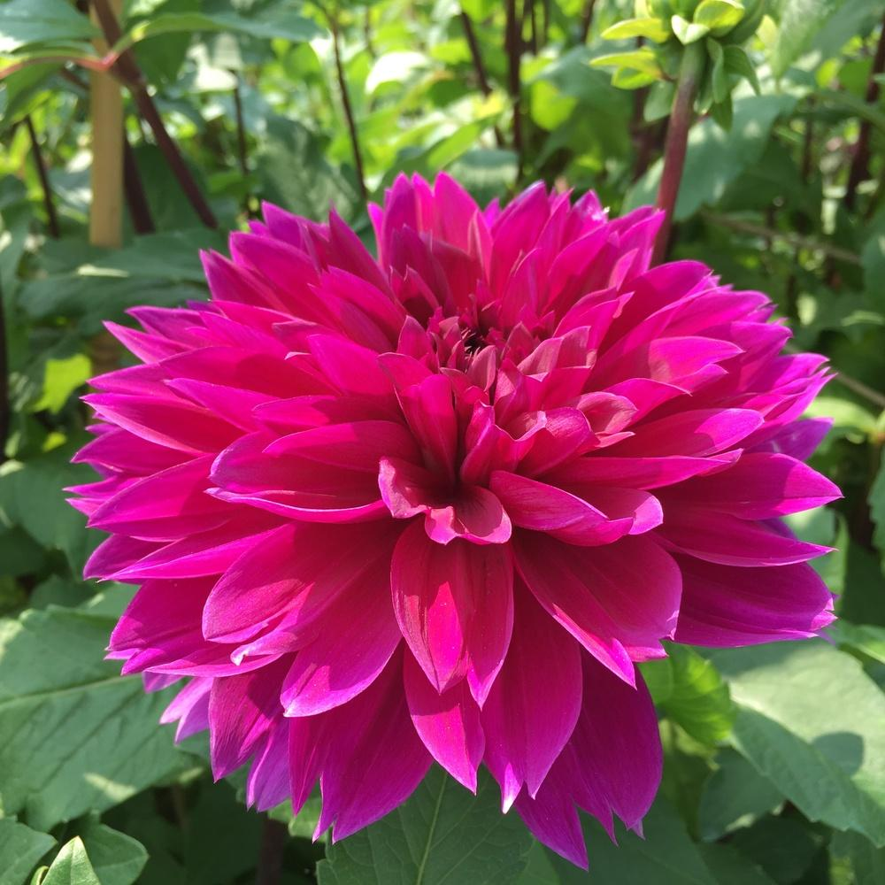 Photo of Dahlia 'Thomas A. Edison' uploaded by csandt