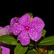Location: Botanical Gardens of the State of Georgia...Athens, GaDate: 2018-08-28Madagascar Periwinkle With Dewdrops 010