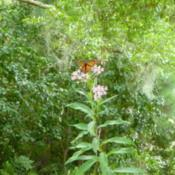 Location: Charleston, SCDate: 2018-08-26plant is about 5' tall...