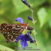 Location: all photos from my gardensDate: 2018-08-31gulf fritillary butterflies