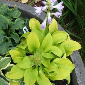 Hosta Sun Mouse In The Hostas Database Gardenorg