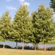 Location: Chicago Botanic Garden in Glencoe, ILDate: 2018-08-23maturing trees in a group
