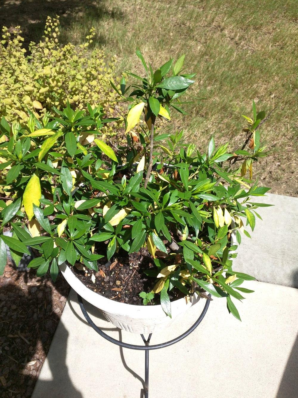 Trees and Shrubs forum Gardenia leaves turning yellow