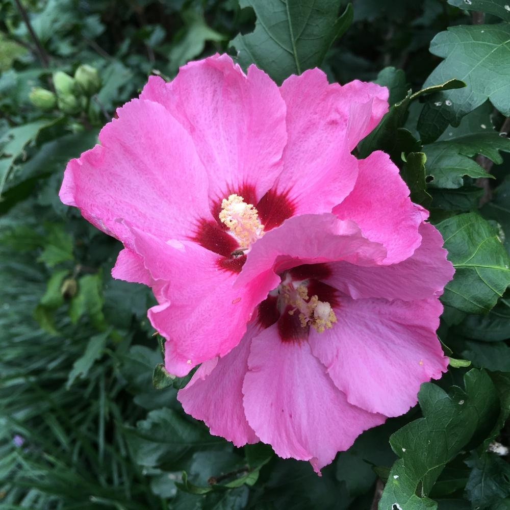 Photo of Rose Of Sharon (Hibiscus syriacus 'Aphrodite') uploaded by csandt