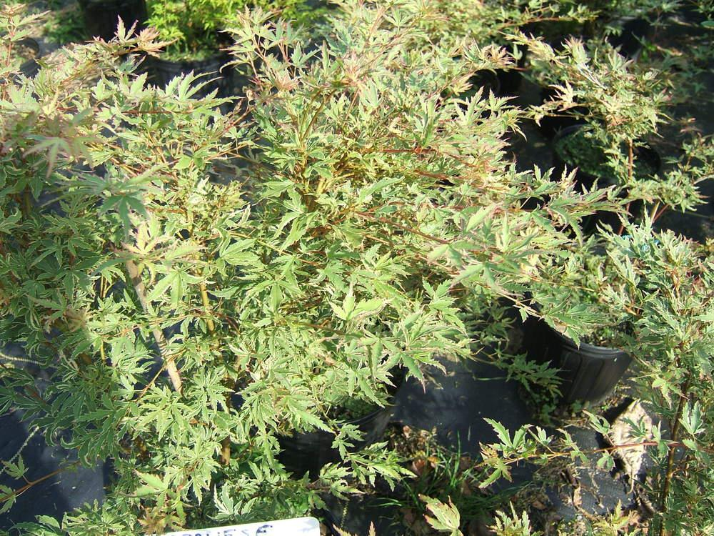 Photo of Japanese Maple (Acer palmatum 'Butterfly') uploaded by pirl
