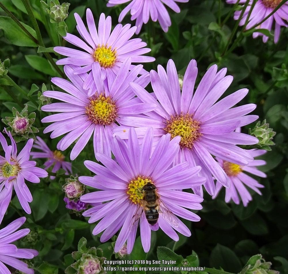 Asters Plant Care And Collection Of Varieties Garden