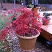 Location: GeorgiaDate: 2014-11-13Japanese maple in the Fall