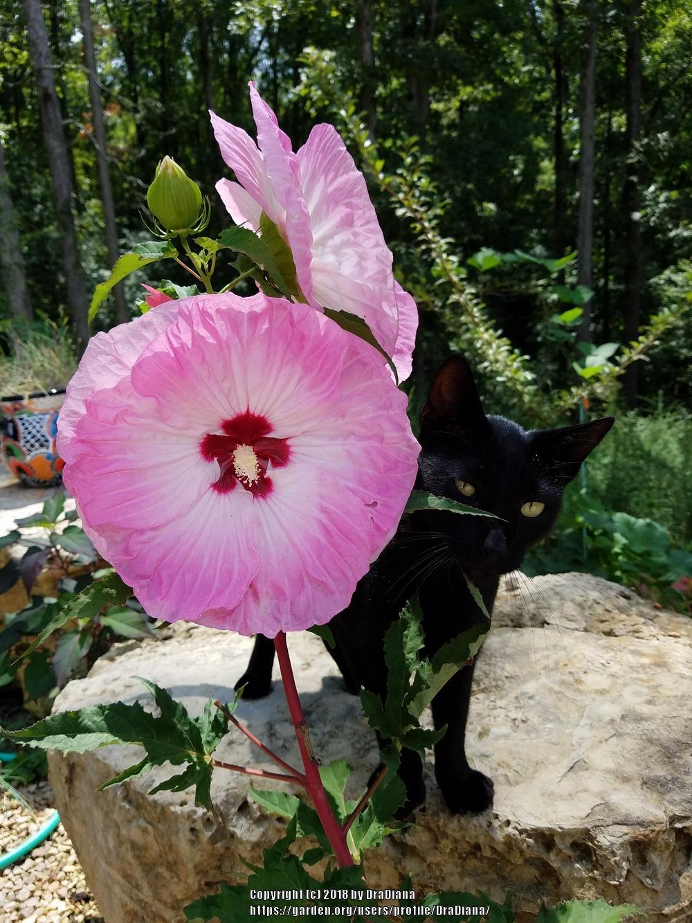 Photo of Hardy Hibiscus (Hibiscus moscheutos 'Tie Dye') uploaded by DraDiana