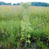 Location: Midewin National Tallgrass Prairie, Wilmington, ILDate: 2018-08-20lone, tall plant with bloom ending