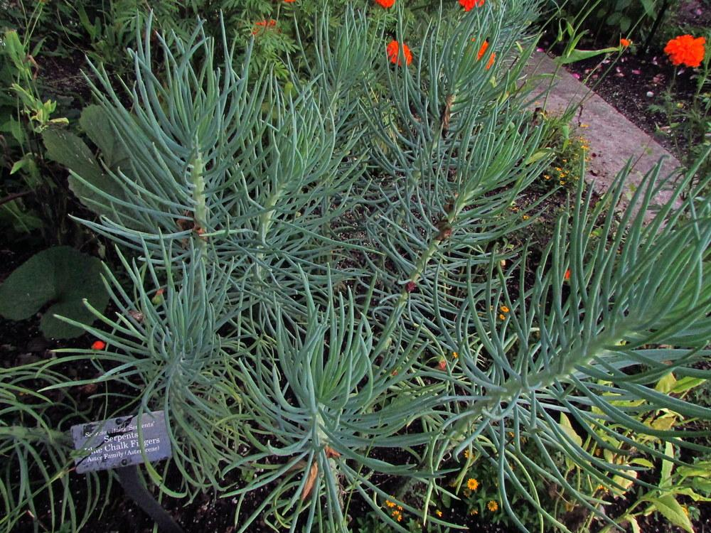 Photo of Blue Chalk Fingers (Senecio vitalis 'Serpents') uploaded by jmorth