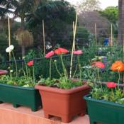 Location: Pretoria, South AfricaDate: 2018-08-31Happy poppies in pots overlooking the flower balcony