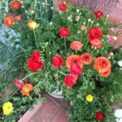 Location: Pretoria, South AfricaDate: 2018-08-31Ranunculus in patio pots - unstaked gives them a lovely free look