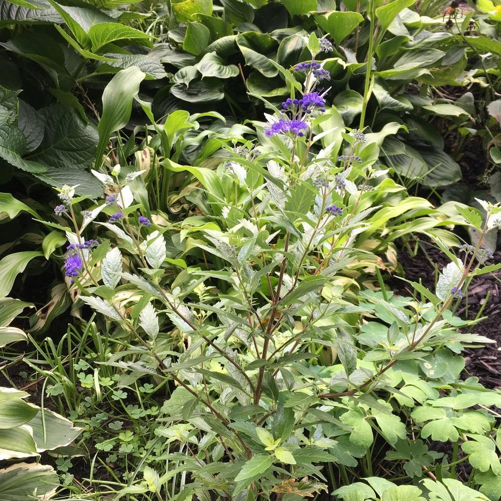 Photo of West Clandon Bluebeard (Caryopteris x clandonensis) uploaded by Samlav