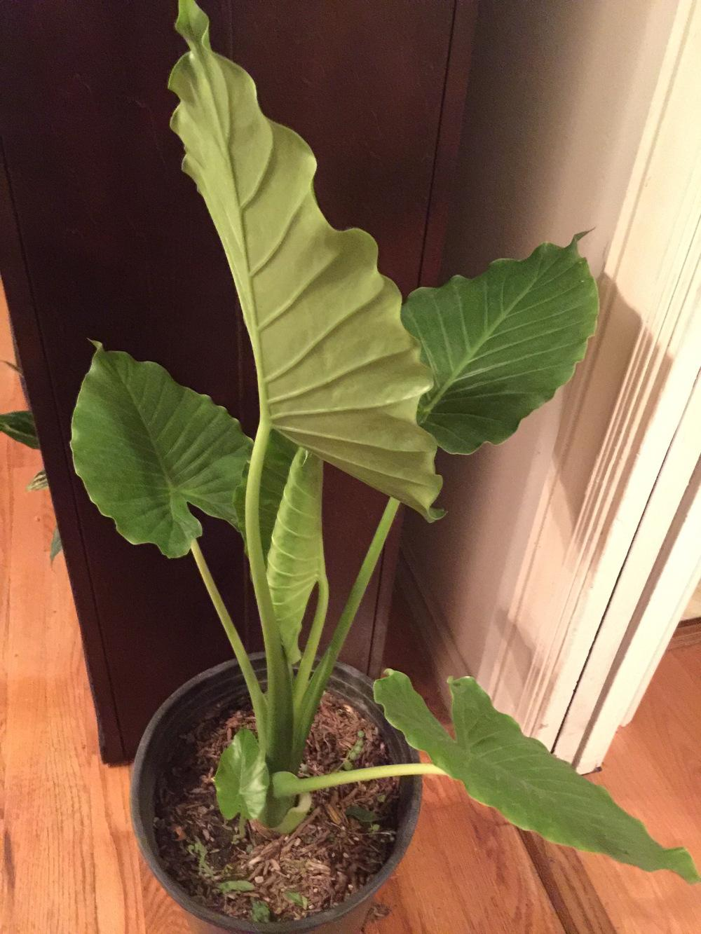 Ask A Question Forum Indoor Colocasia Elephant Ear Plant Garden Org