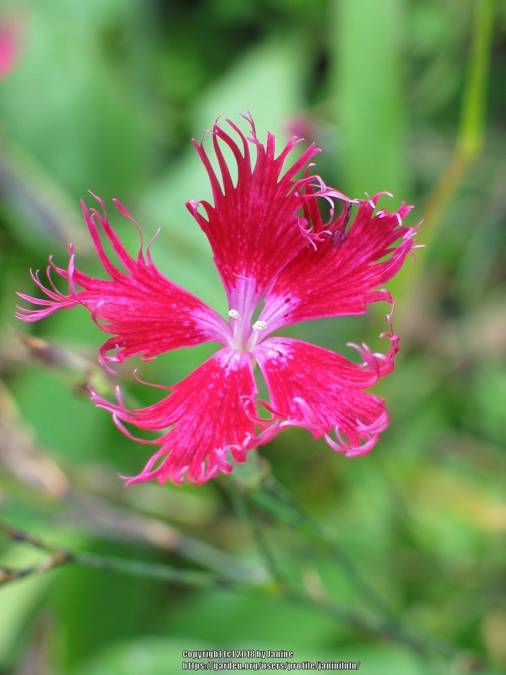 Photo of Fringed Pink (Dianthus superbus 'Crimsonia') uploaded by janinilulu