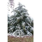 Location: AtokaDate: May 13, 2009Snow-covered Cedar Tree