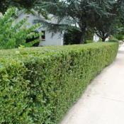Location: Downingtown, PennsylvaniaDate: 2011-07-04a sheared hedge