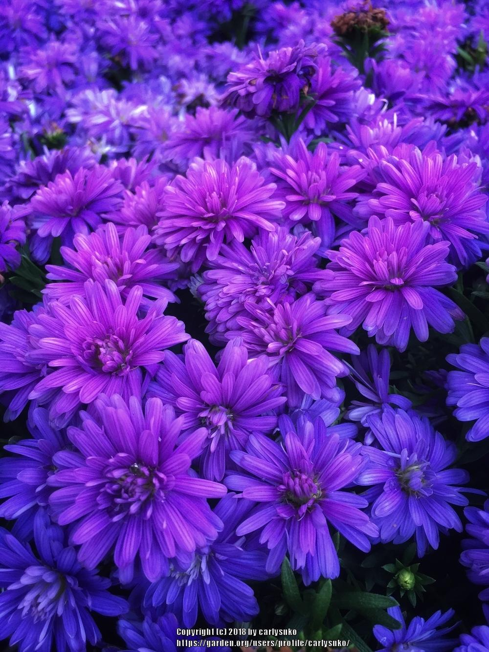 Photo of Aster (Symphyotrichum novi-belgii 'Henry I Purple') uploaded by carlysuko