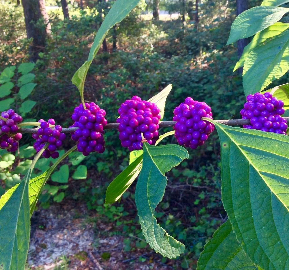 Photo of Beautyberries (Callicarpa) uploaded by GaNinFl