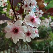 Location: Southern MaineDate: MayFlowers had extra petals on one twig...really lovely.
