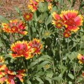 Location: North LouisianaDate: SummerGaillardia pulchella - Indian blanket