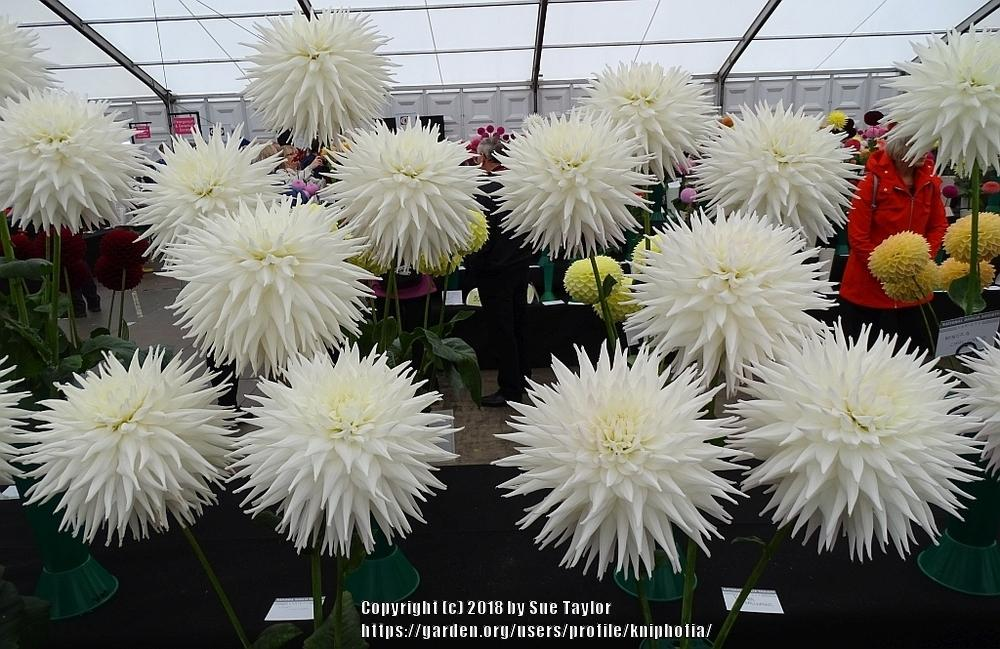 Photo of Dahlia 'Kenora Challenger' uploaded by kniphofia
