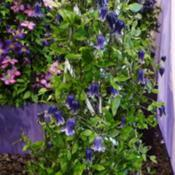 Location: Harrogate Autumn Flower show, YorkshireDate: 2018-09-15Taylors clematis exhibit