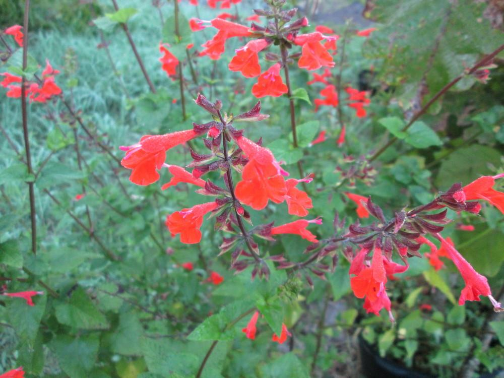 Photo of Scarlet Sage (Salvia coccinea) uploaded by christinereid54