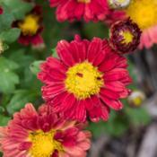 "Location: Clinton, Michigan 49236Date: 2018-09-12""Chrysanthemum 'Red Daisy', 2018 photo, Common Name: MA"