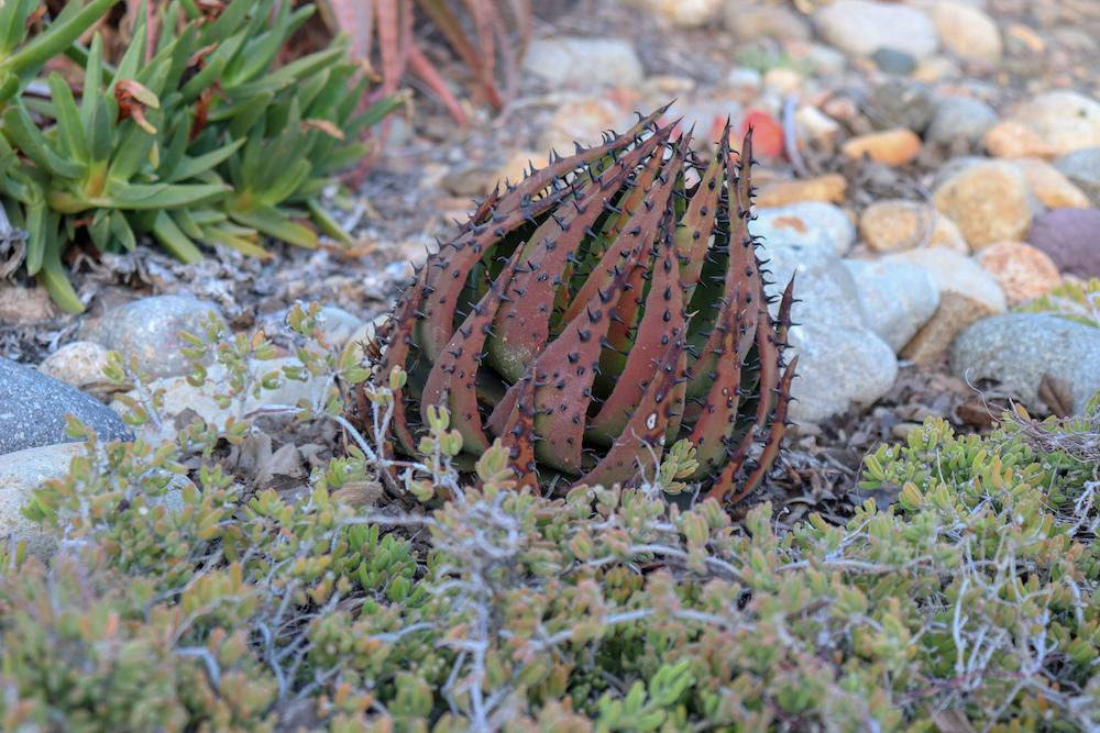 Photo of Black-spined Aloe (Aloe melanacantha) uploaded by Baja_Costero