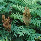 Location: West Chester, PennsylvaniaDate: 2012-06-04fertile brown leaflets at top of fronds