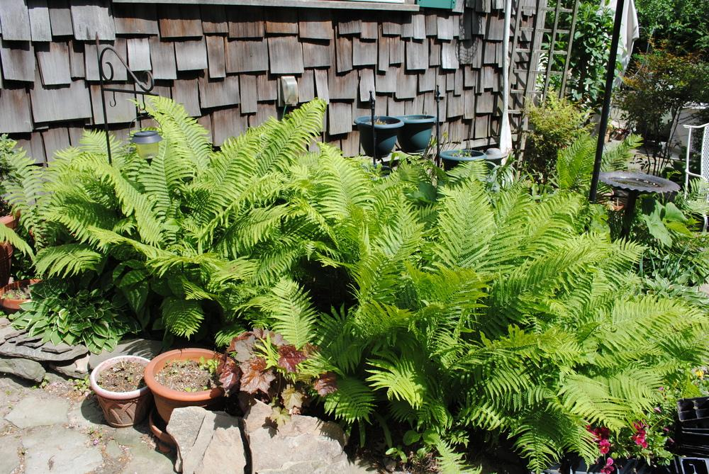 Photo of Ostrich Fern (Matteuccia struthiopteris) uploaded by ILPARW