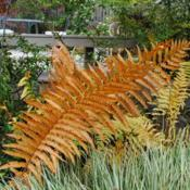 Location: West Chester, PennsylvaniaDate: 2010-10-25autumn color of sterile fronds